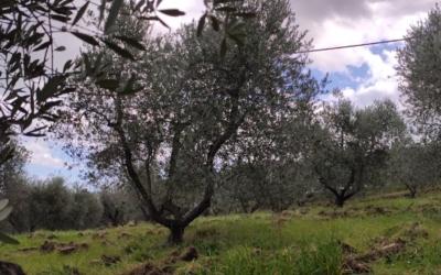 Le forme di allevamento dell'olivo